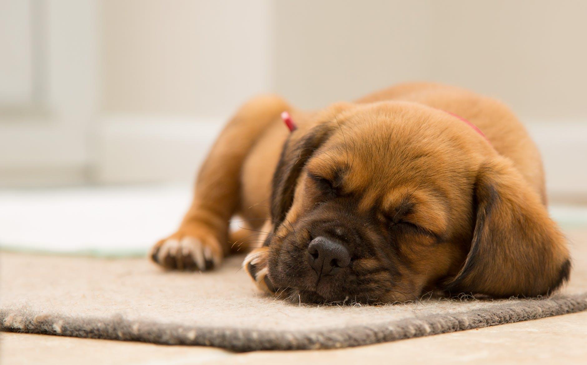 собака дома на ковре