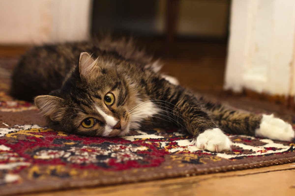 котенок лежит на ковре