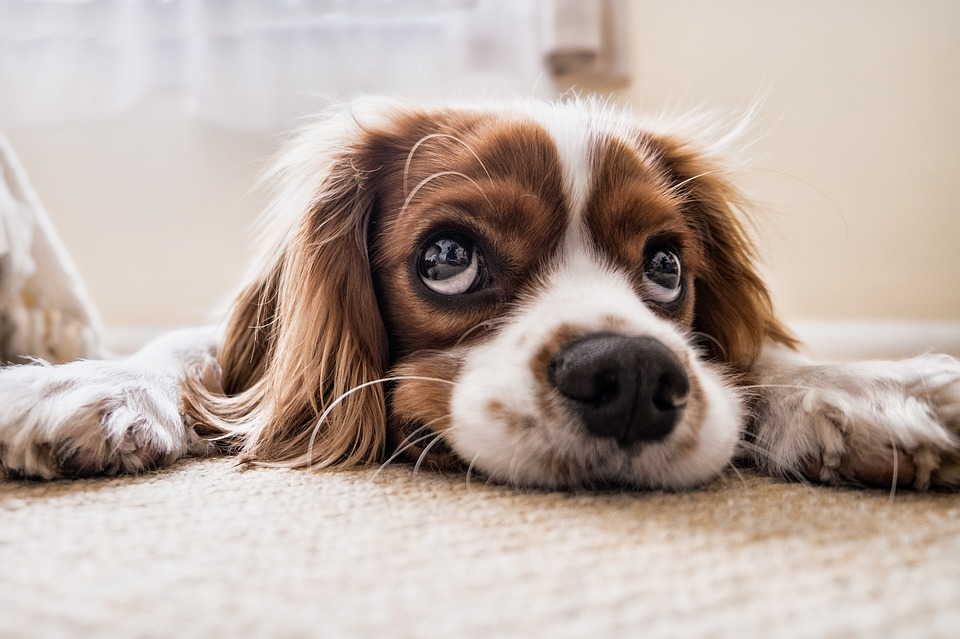 собачка лежит на полу